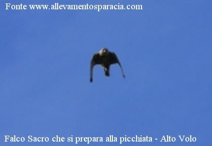Falco sacro