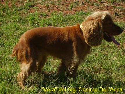 cocker spaniel inglese cane da caccia ferma