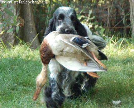 cane cerca riporto cocker spaniel inglese