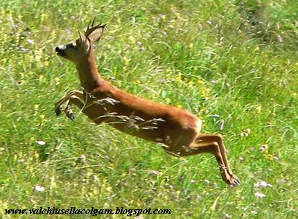 caccia capriolo tar piemonte