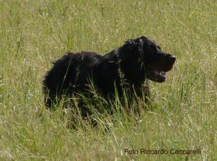 setter gordon caccia cane da ferma