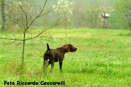 Gare cinofile cane ferma spaniel