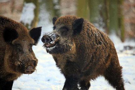 wild hog картинки