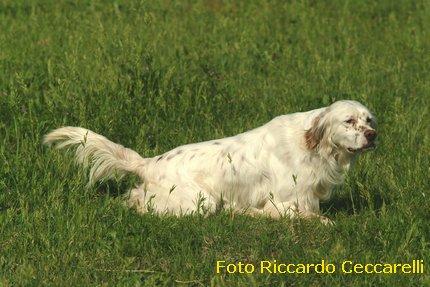 setter inglese cane da caccia ferma beccaccia fagiano