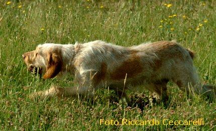 spinone italiano cane da ferma caccia