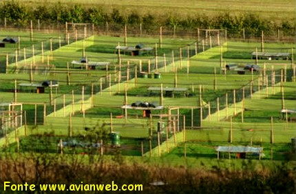 Allevamento del fagiano: i riproduttori