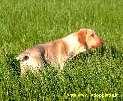 bracco italiano cane da ferma caccia fagiano beccaccia