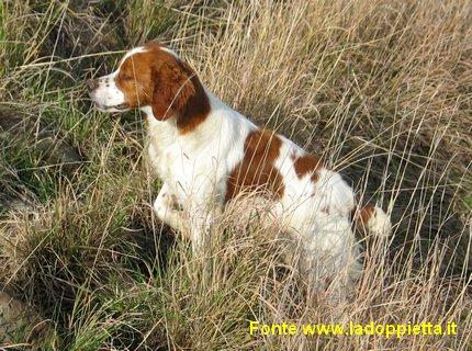 epagneul breton cane da caccia ferma