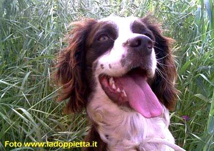 springer spaniel cane da cerca caccia