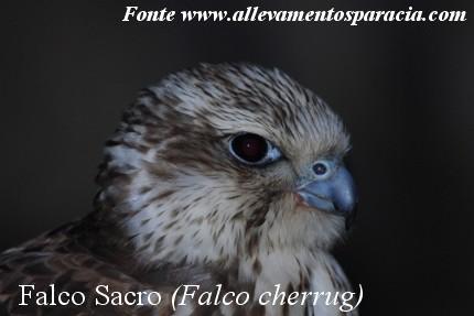 Falco Sacro - Sparacia