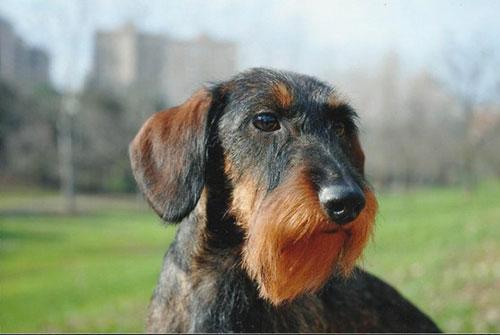 bassotto tedesco cane da caccia da tana