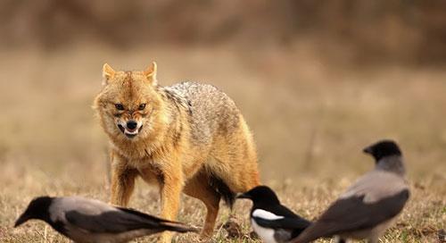 sciacallo dorato lombardia cacciatori