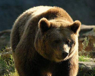 orso uomo trentino controllo caccia