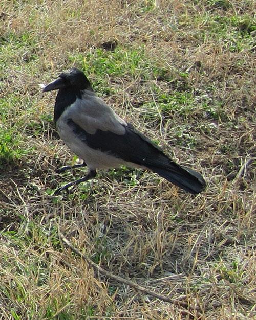caccia wwf settenbre divieto tortora corvidi