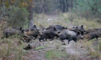 calabria cinghiale caccia straordinaria danni agricoltura