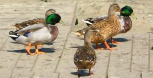 richiami vivi diviento influenza aviaria caccia venatorio