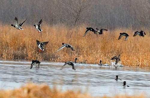 acma richiami vivi acquatici caccia anatre
