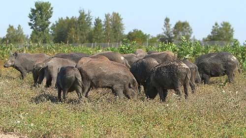 cinghiale caccia agricoltura danni aree non vocate