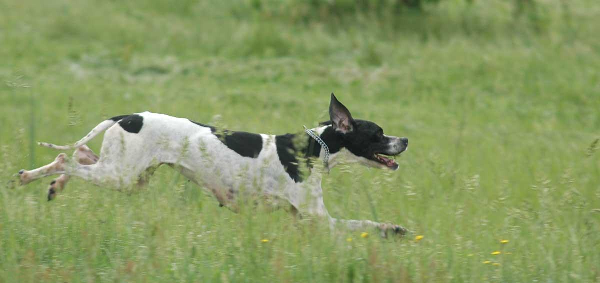 pointer club cane da caccia 70 anni