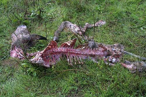 lupo specie protetta regione veneto bruxelles caccia