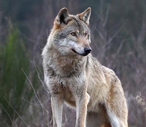 lupo si abbatte caccia toscana trentino alto adige animalisti in rivolta