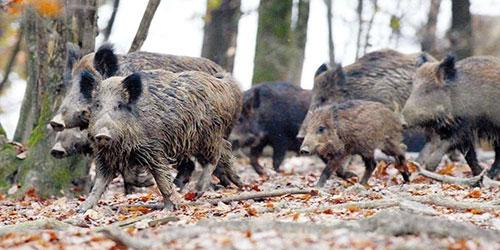 ambientalisti caccia cinghiale capriolo lupo cacciatore