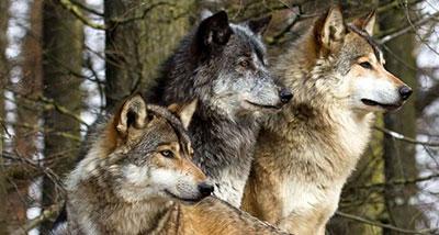 lupo firenze movimento animalista manifestazione