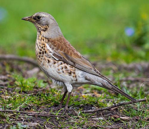 migrazione passo uccelli migratori svenrnanti caccia