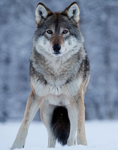 norvegia caccia di contenimento al lupo