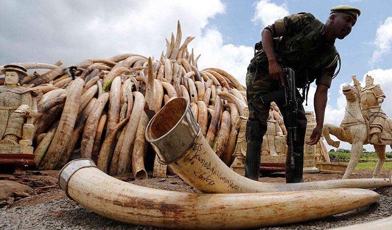 caccia elefante avorio bandito in cina bracconaggio