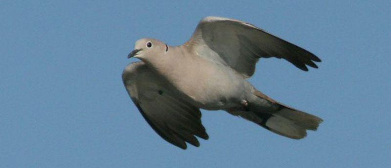 libera caccia umbria tortora dal collare piccione selvatico