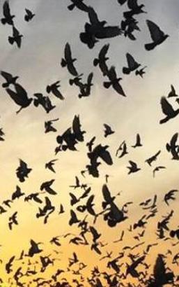 colombacci caccia migrazione passo
