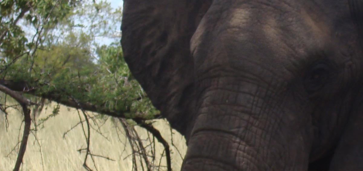 Principe William caccia africana elefanti