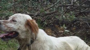 CACCIA E CANI: LENTO RITORNO ALLA NORMALITA'